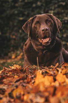 Brauner Labrador von Tessa Dommerholt
