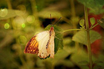 Half-witte vlinder met bokeh van Carin Klabbers