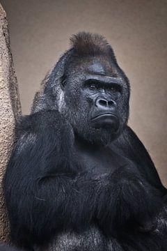 Ein düsterer männlicher Gorilla sitzt schwer an der Klippe