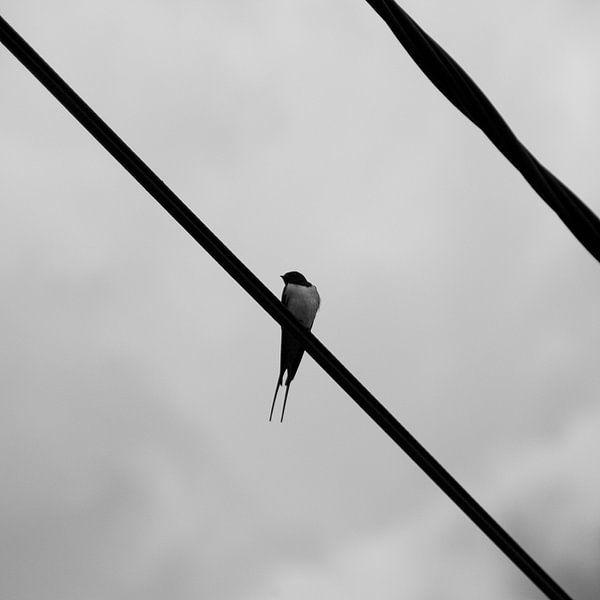 Swallow van Marco de Groot