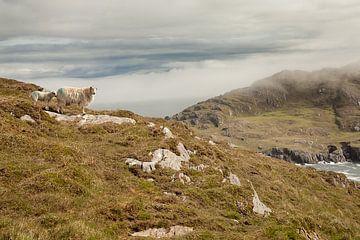 Schafe in Irland von Astrid Volten