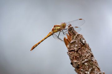 Libellen op dennen boom Texel van Ronald Timmer