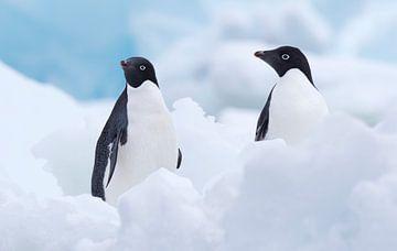 Zwei Adelie-Pinguine (Pygoscelis adeliae) zwischen dem Eis auf der Insel Paulet von Nature in Stock