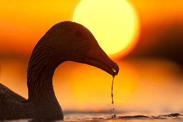 Greylag Goose (Anser anser) with sunset sur AGAMI Photo Agency