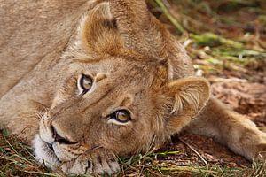 Junger Löwe, Südafrika