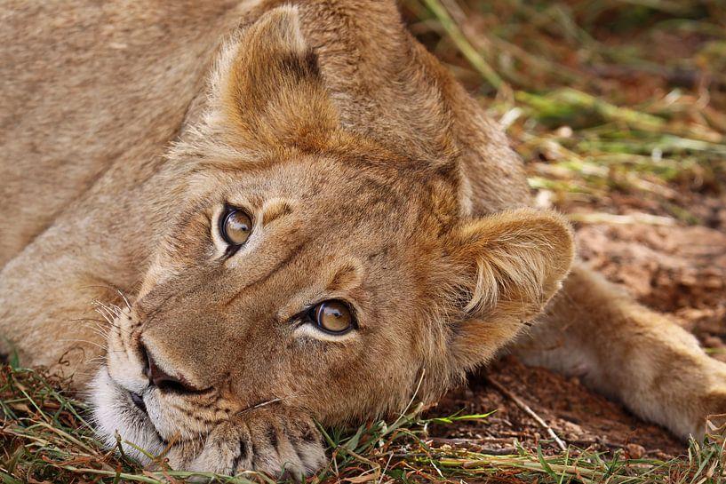 Junger Löwe, Südafrika von W. Woyke