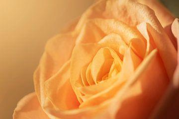 Rose in Pastellfarbe von Maren Oude Essink