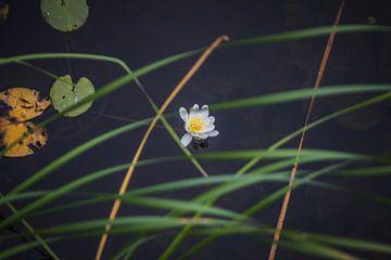 Waterlelie in bloei van Jaap De Vries