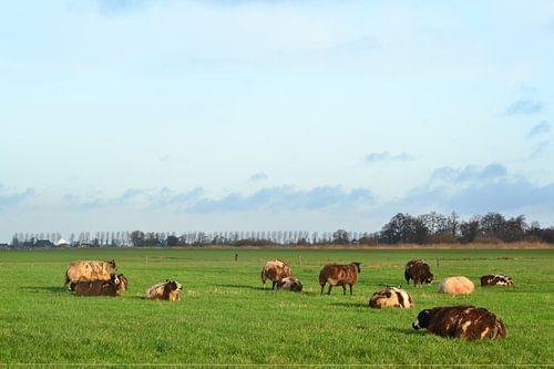 Schapen in het boerenland, Doezum, Groningen