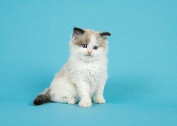 Ragdoll kitten in het blauw van Elles Rijsdijk