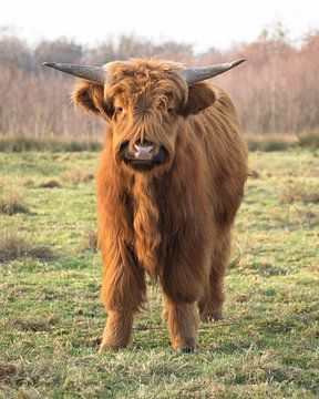 Schotse Hooglander in Buurse von Renske Huiskes