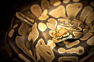 Anagonda snake / slang van