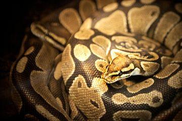 Anagonda snake / slang von Margo Schoote