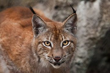 Fang einer schönen Großkatze Luchs in Nahaufnahme. große ausdrucksstarke Katzenaugen, Blick einer Ra von Michael Semenov