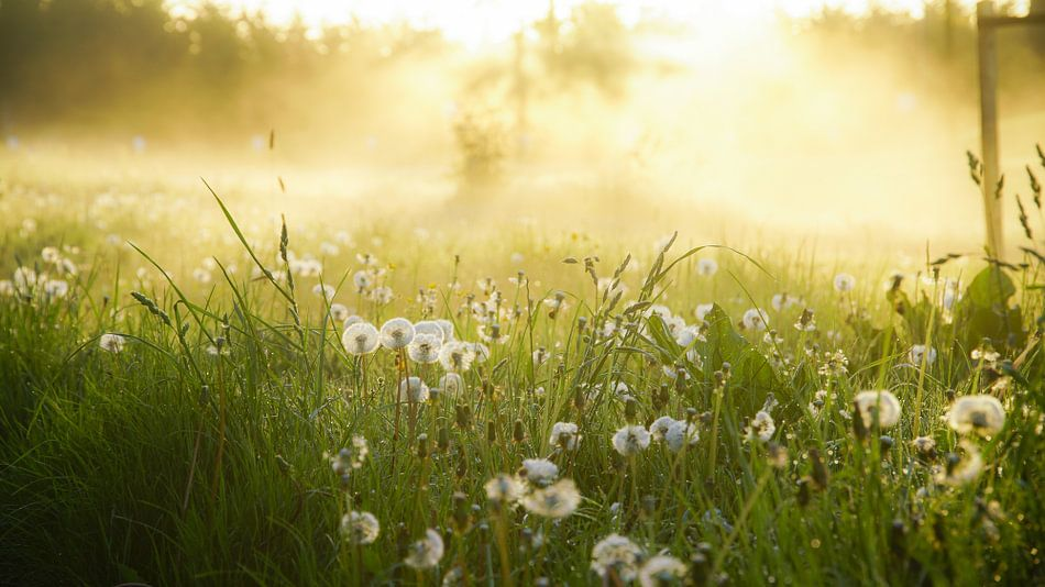 Paardenbloemen en ochtenddauw