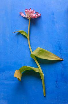 Tulpe von Anette Jäger