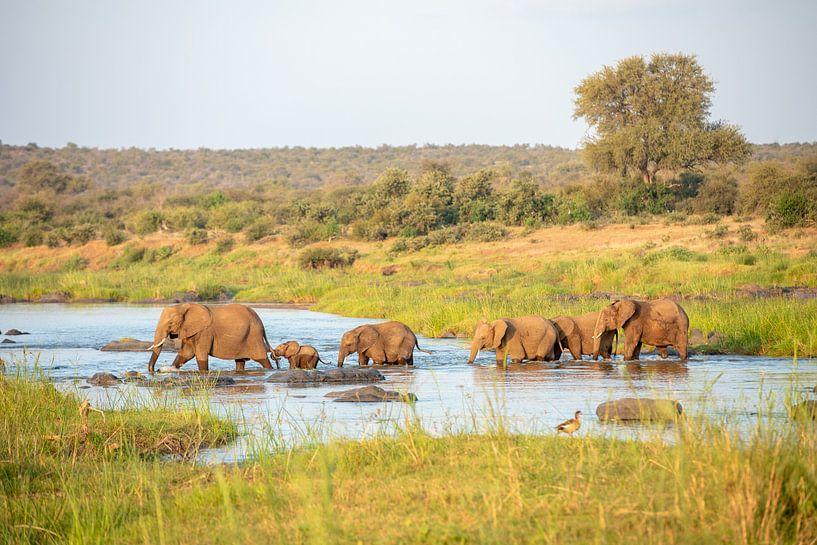 Hou je vast, olifantenkudde steekt de rivier over van Inez Allin-Widow