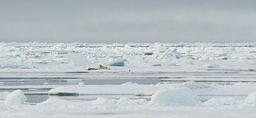 Eisbär in seiner natürlichen Umgebung von Senne Koetsier