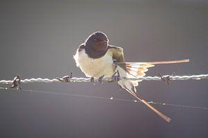 Zwaluw van
