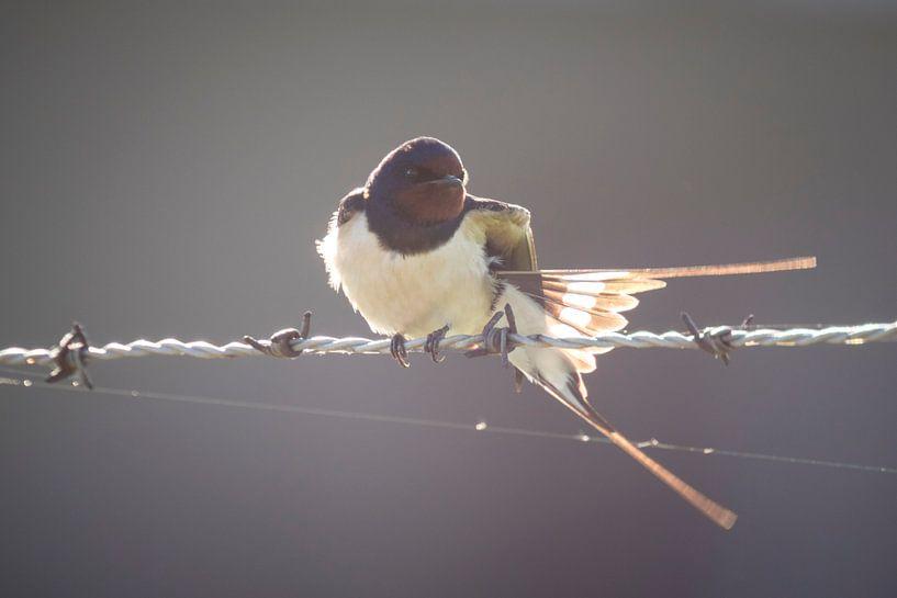 Zwaluw van Sander Meertins
