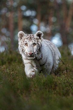 Tijger/koningstijger ( Panthera tigris ) in het kreupelhout van een bos. van wunderbare Erde