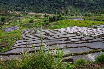 Champ de riz sur Jasper Los