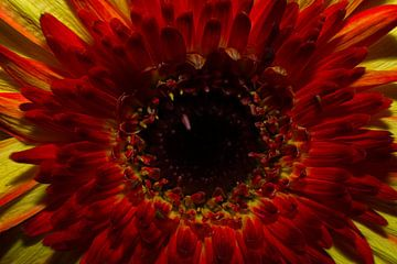 Gerbera in gelb und rot von Joran Quinten