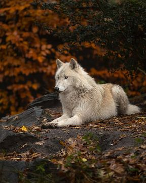 Wolf im Herbst von Patrick van Bakkum