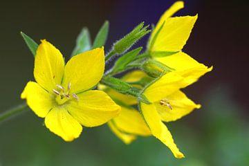 Gelbe Blüten von Lysimachia vulgaris von Jolanta Mayerberg