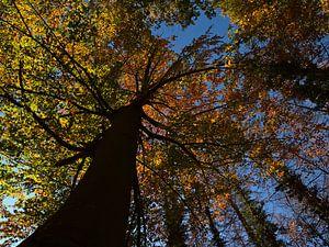 Machtige beuk met verkleurde bladeren in de herfst