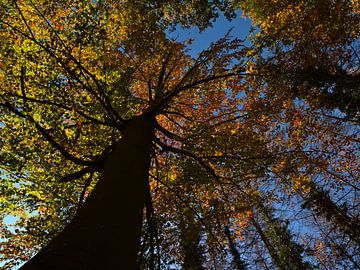 Machtige beuk met verkleurde bladeren in de herfst van Timon Schneider