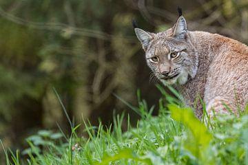 Lynx kijk om van