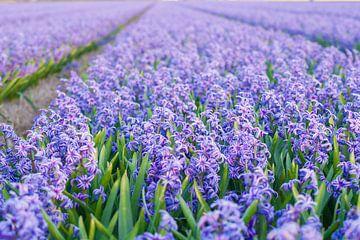 Veld met paarse hyacinten van Stefanie de Boer