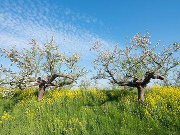 bloeiende appelbomen tussen geel koolzaad langs de appeldijk langs de Linge bij Tricht