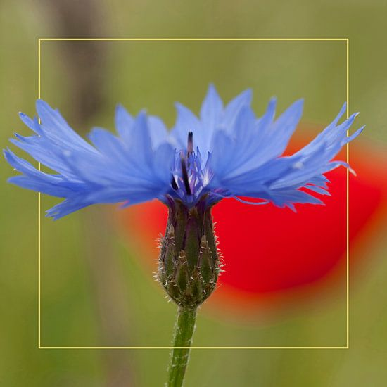 Bleuet avec cadre et fond de pavot