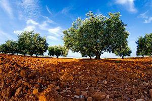 Terre d'oliviers van