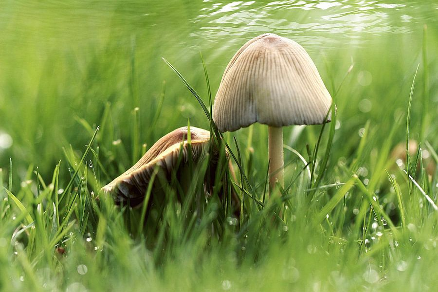 paddenstoeltjes in het gras