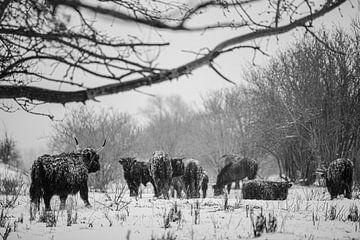 Schotse hooglanders in de sneeuw van Alvin Aarnoutse