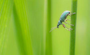 Groene snuitkever tussen het groene gras van