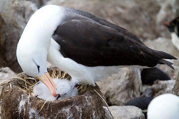 Albatros mit Küken von Angelika Stern