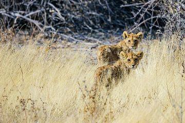 Lion Cups in Etosha National Park van Jurgen Hermse