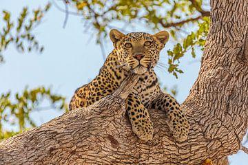 Luipaard liggend in boom van