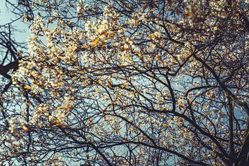 Bloesems wit 05 van FotoDennis.com