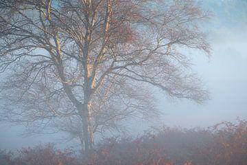 Een berk boom in mooie mistige omstandigheden op de Kampina. van Jos Pannekoek
