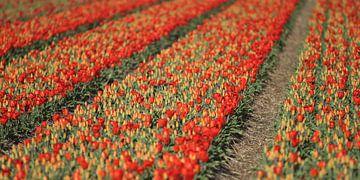 Rode tulpen van Rob Hendriks
