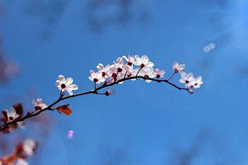 Cherry flowers van