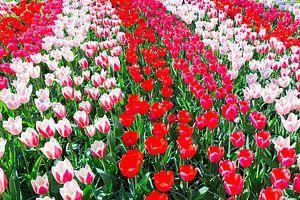Tulpenveld met verschillende kleuren rode tulpen in rijen. van