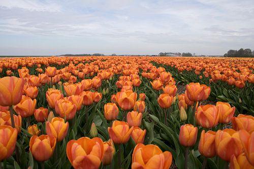 Veld oranje tulpen van