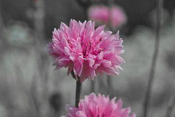 Die rosa Kornblume von J..M de Jong-Jansen