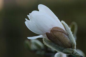 tulpenboom magnolia van Eugene Lentjes